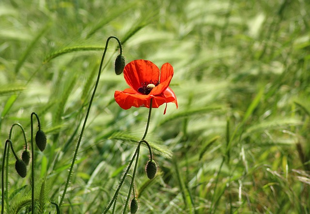 Poppy, Wildflowers, Poppy Field, Meadow, Red
