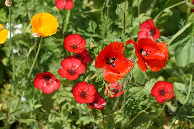 Poppies, Flowers, Fields, Nature, Summer, Poppy, Red