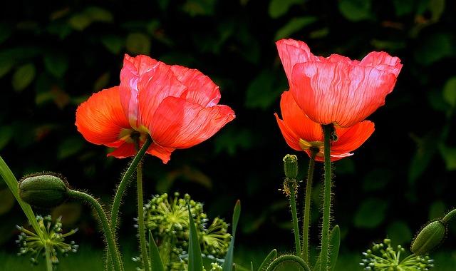 Poppy, Red, Red Poppy, Poppy Flower, Flower