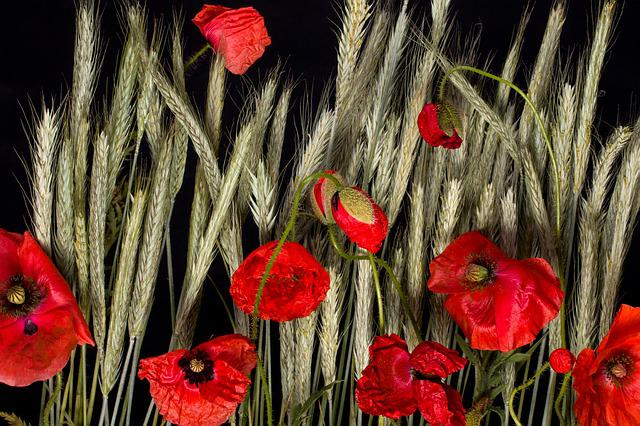 Flowers, Cereals, Poppy, Klatschmohn, Roe