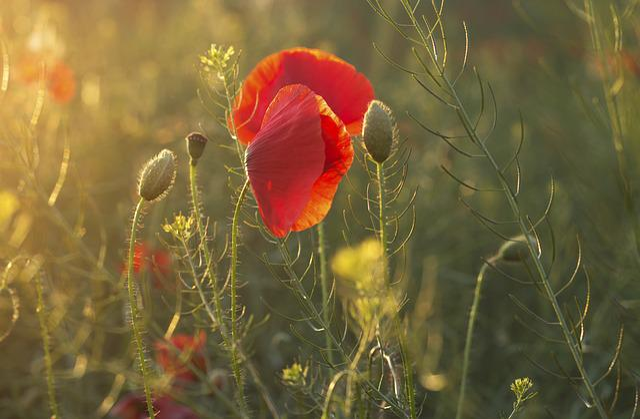 Poppies, Summer, Flower, Poppy, Nature