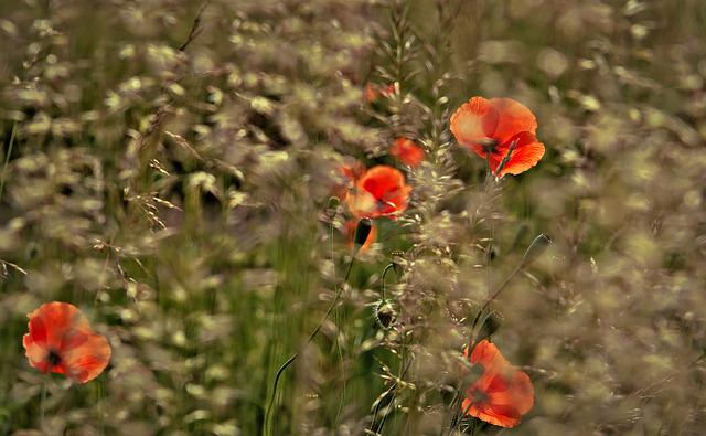 Poppy, Poppies, Klatschmohn, Oats, Oat Panicles, Wind