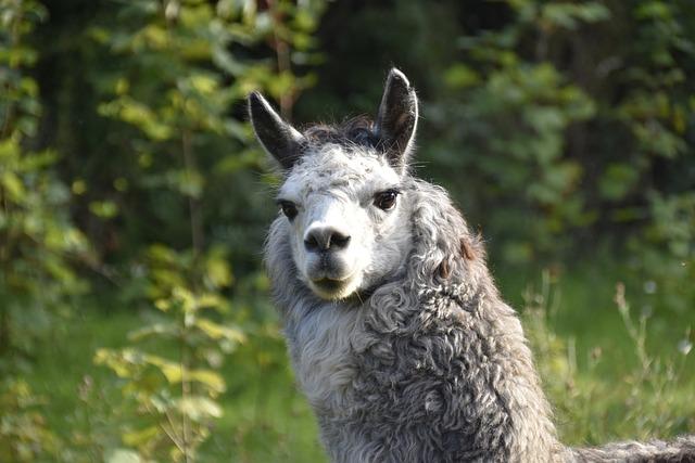 Alpaca, Camelids, Portrait Alpaca, Color White Grey
