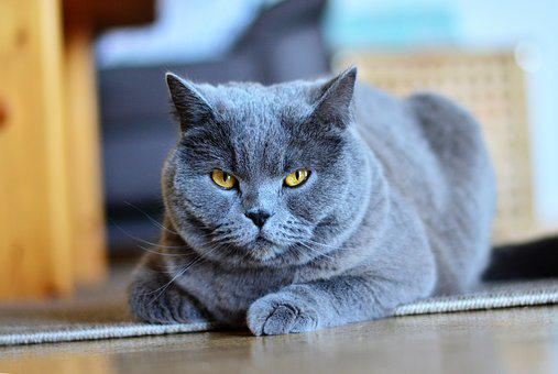 Chartreux, Cat, Animal, Pet, Portrait, Domestic Cat