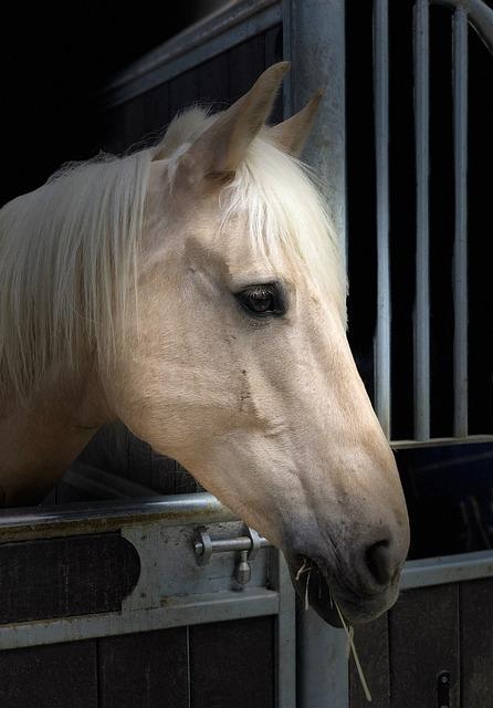 Horse, Head, Portrait, Palomino, Animal