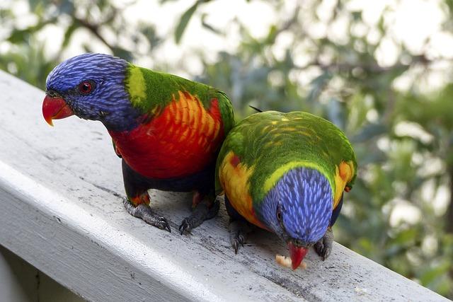 Rainbow Lorikeet, Bird, Parrot, Feather, Portrait, Beak