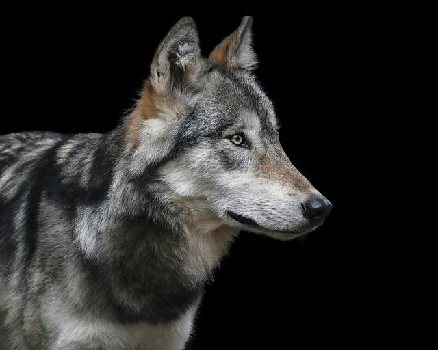 Wolf, Portrait, Black Background, Predator, Carnivore
