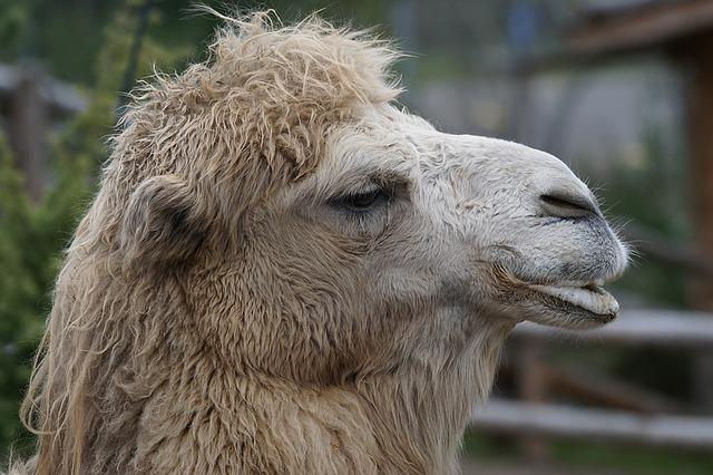 Animals, Camel, Old World Camel, Dromedary, Portrait