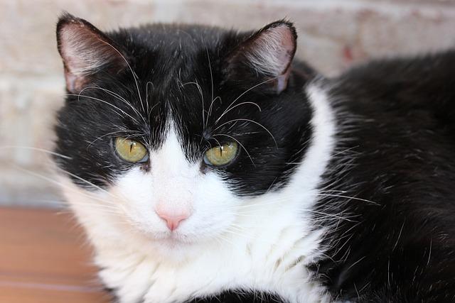Mammal, Animal, Cute, Cat, Portrait, Tuxedo, American