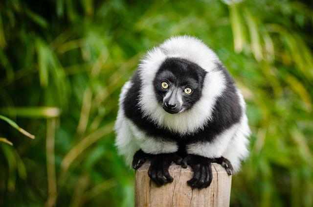 Lemur, Madagascar, Primate, Funny, Curious, Portrait