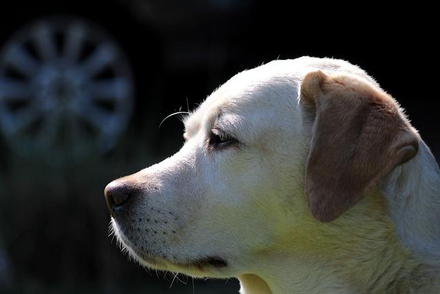 Labrador, Yellow, Dog, Pet, Portrait, A Friend