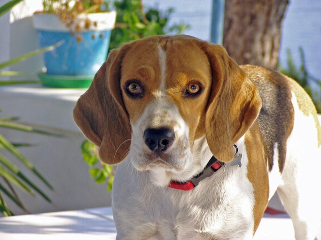 Beagle, Dog, Snuff, Hound, Friend, Portrait, Nose, Ears