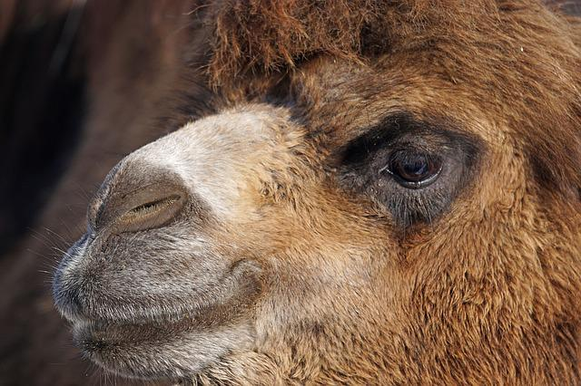 Dromedary, Old World Camel, Camel, Portrait, Animals