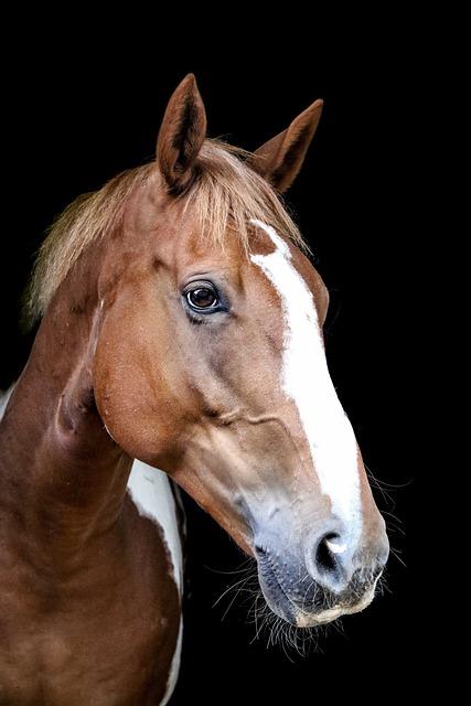 Horse, Equine, Animal, Equestrian, Portrait, Skewbald