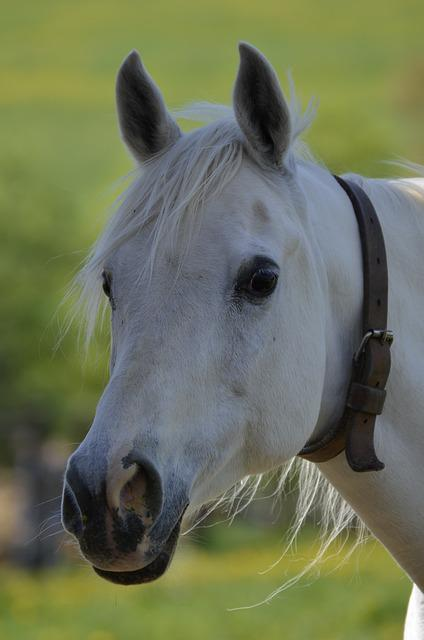 Mammal, Animal, Farm, Nature, Horses, Portrait, Arabs