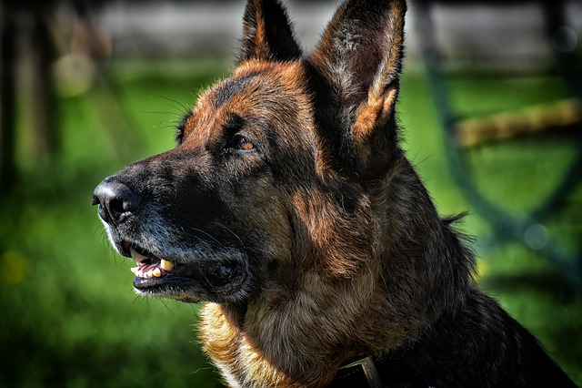 Dog, Schäfer Dog, Race, Fur, Animal, Pet, Portrait