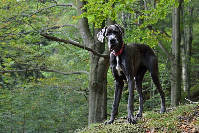 Great Dane, Portrait, Dog