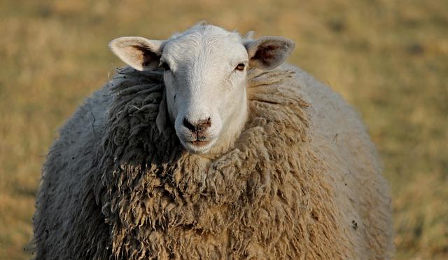 Sheep, Livestock, Head, Winter Wool, Portrait