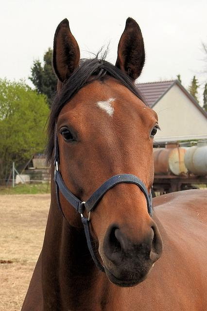 Mammal, Farm, Portrait, Horse