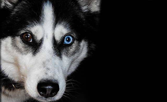 Husky, Dog, Pet, Animal, Breed, Portrait, Siberian