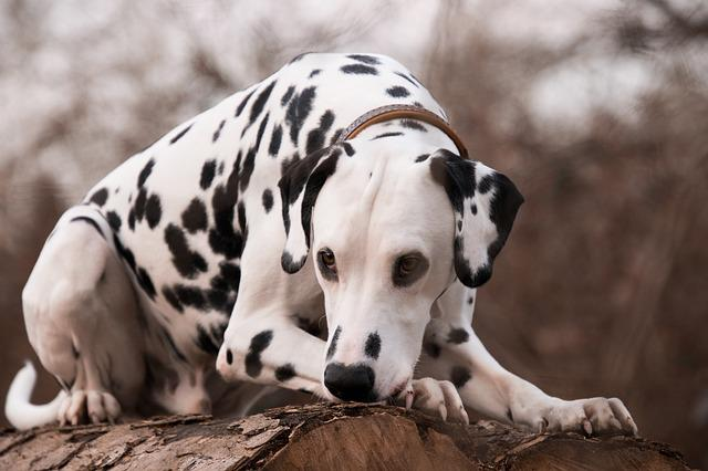 Mammal, Animal, Nature, Portrait, Cute, Dalmatians