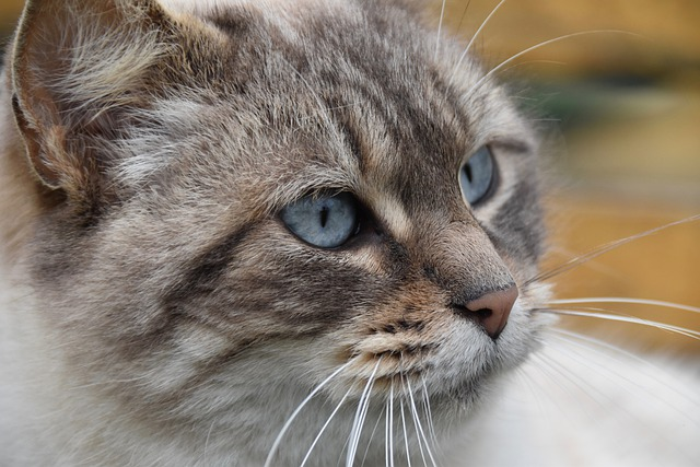 Cat, Pussy, Feline, Portrait Of Cat, Cat Blue Eyes