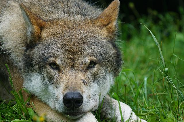Wolf, Predator, Eurasian Wolf, Pack Animal, Portrait