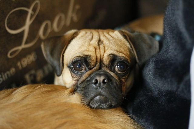 Dog, Animal, Canine, Portrait, Cute, Pets, Pug, Puppy
