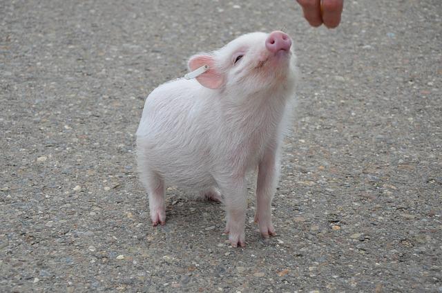 Pig, Animal, Cute, Portrait, Luck, Sow Good
