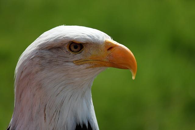Bald Eagle, Portrait, White Tailed Eagle, Adler, Raptor