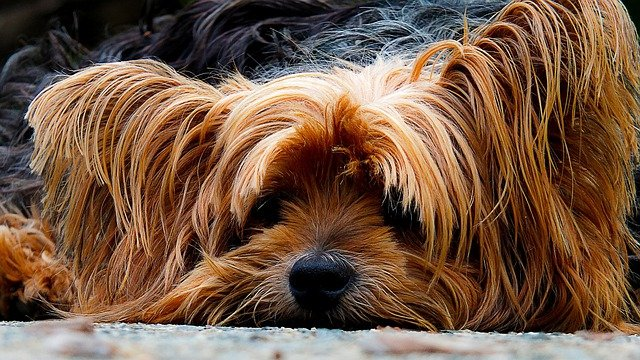Dog, Yorkshire Terrier, Lazy Dog, Portrait