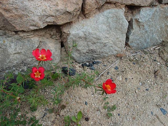 Flowers, Portulaca Grandiflora, Dirt, Damme