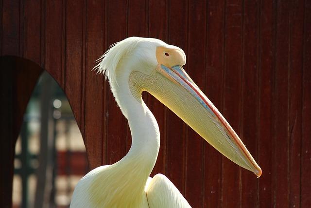 Pelican, Zoo, Posing