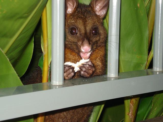 Possum, Possum Eating, Hamilton Island, Australia