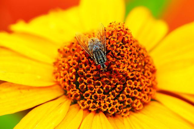 ścierwica Mięsówka, Muchówka, Flower, Sunflower, Posts