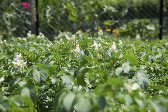 Blossom, Bloom, Potato, Potato Field, Bloom, Garden
