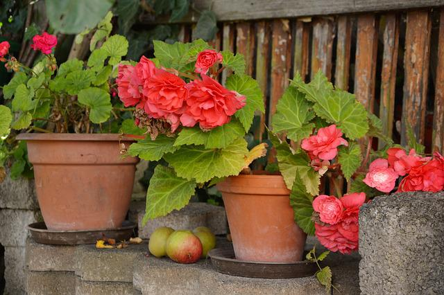 Begonias, Flower Pots, Potted Flowers, Garden