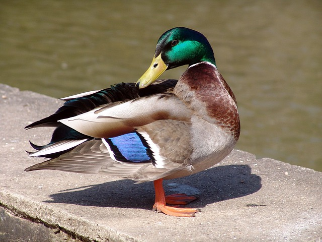 Animal, Bird, Duck, Poultry