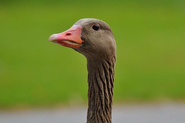 Goose, Bird, Feather, Water Bird, Poultry, Bill