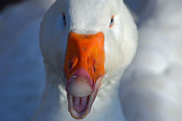 Goose, Bird, Poultry, Domestic Goose, Bill, Head
