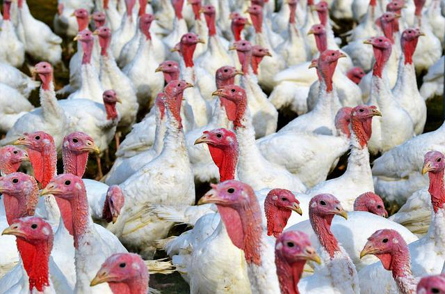 Turkeys, Birds, Plumage, Poultry, Free Range