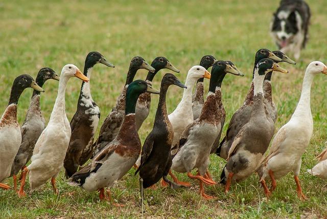 Ducks, Indian Runner, Border Collie, Poultry