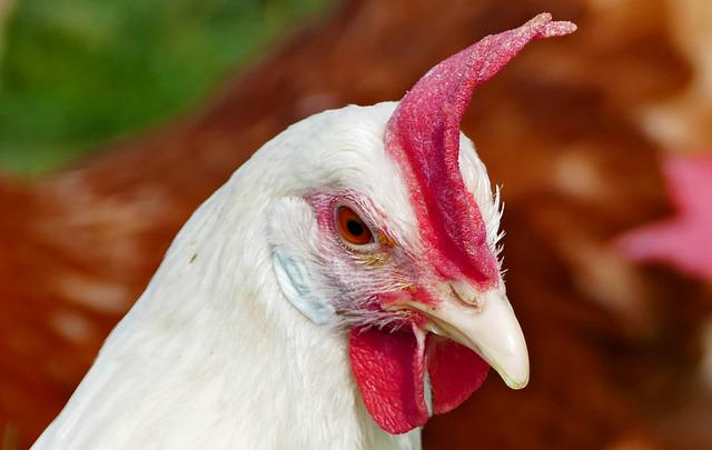 Agriculture, Poultry, Animal Husbandry, Hen, Chicken