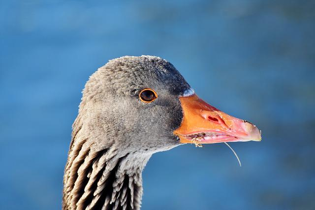 Greylag Goose, Wild Goose, Goose, Poultry, Water Bird