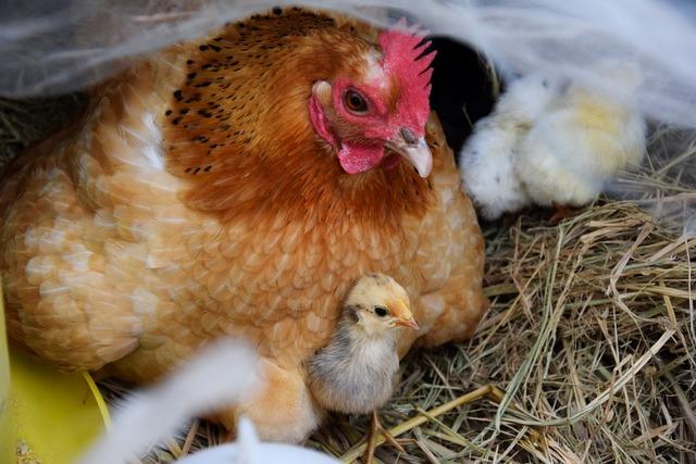 Hen, Chicks, Chicken, Poultry