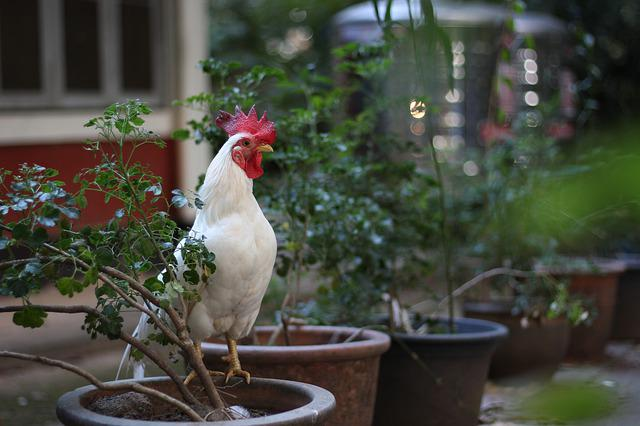 Chicken, White, Domestic Fowl, Rooster, Poultry