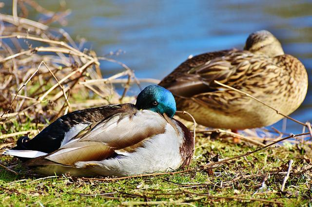 Ducks, Waterfowl, Mallard, Bird, Poultry, Animal, Drake