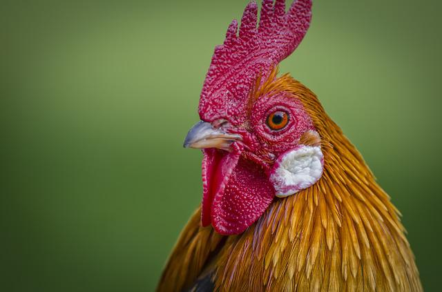 Hahn, Animal Portrait, Poultry, Wildlife Photography