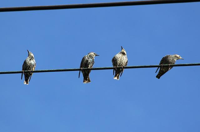 Star, Stare, Birds, Power Line, Migratory Birds, Bird