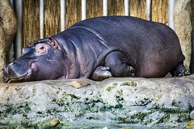 Hippopotamus, Hippo, Lazy, Zoo, Prague, Mammal, Rest